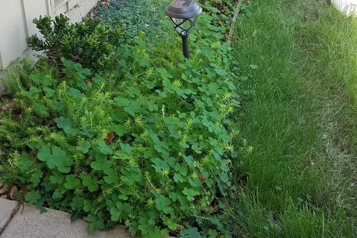Clover overgrown flower bed area.