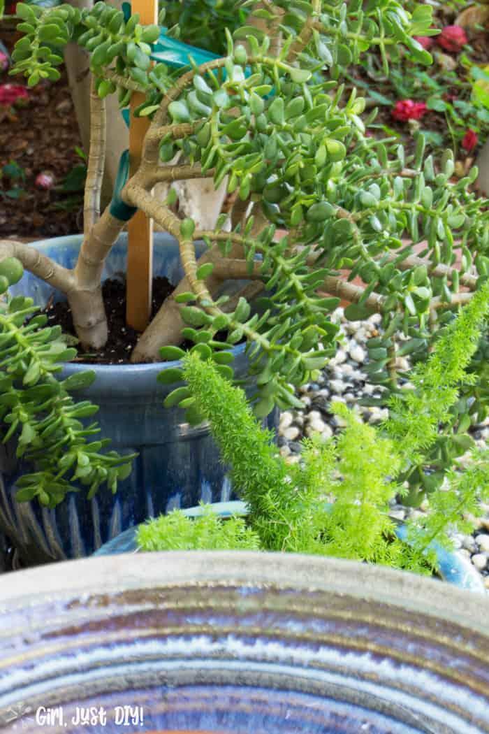 Jade plant and fern beyond bird bath.