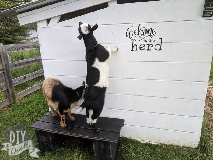 Goats on top of bench next to white garden shed.