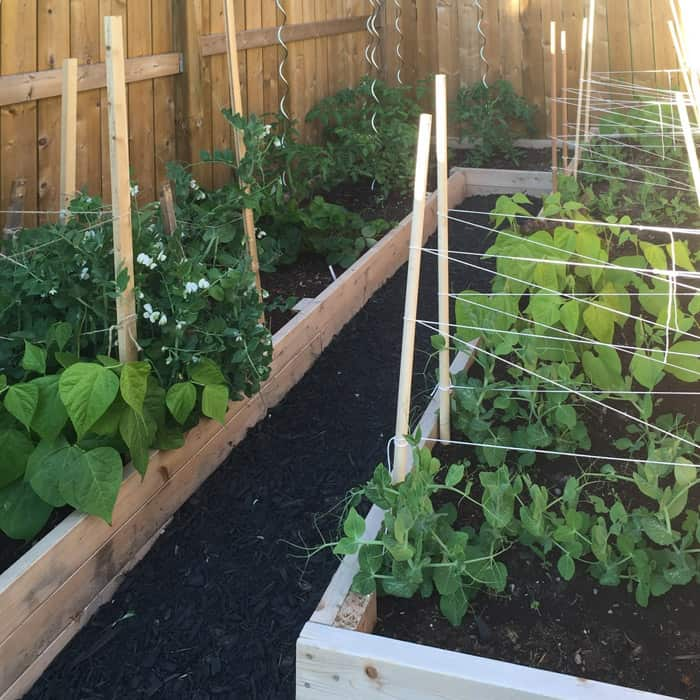 Raised garden planter beds with vegetable plants.